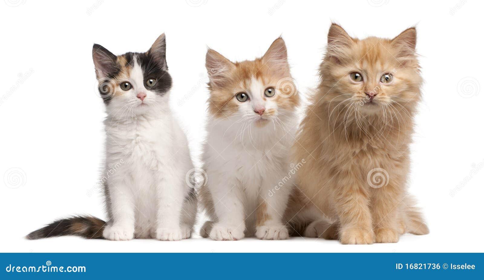 European Shorthair Kittens 10 Weeks Old Royalty Free Stock Image