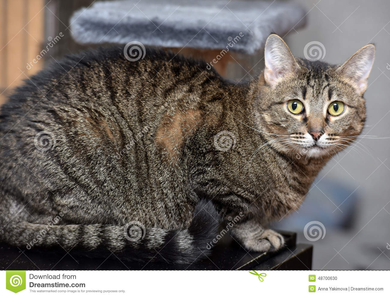 european shorthair tabby cat stock photo image of animal feline