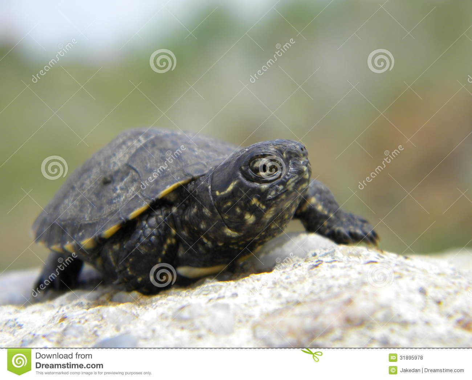 European Water Turtle Baby Royalty Free Stock Photos - Image: 31895978