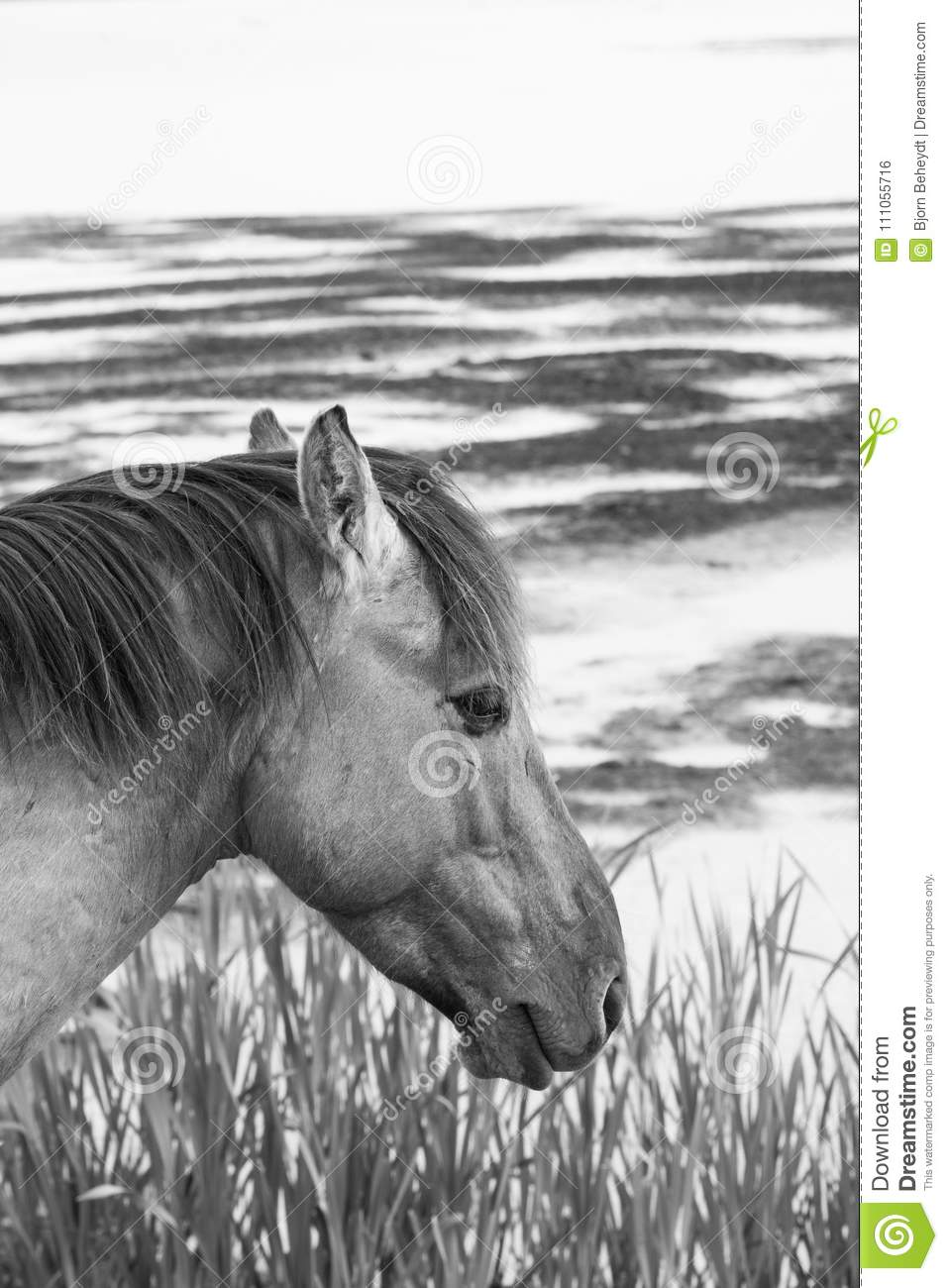 European Wild Horses In Black And White Stock Photo Image Of Beautiful Color 111055716