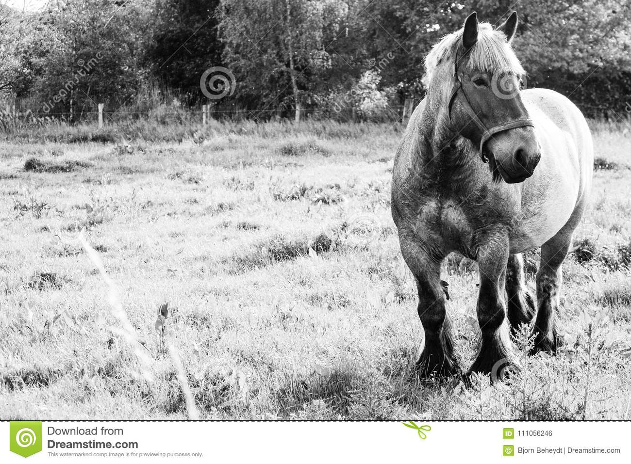 European Wild Horses In Black And White Stock Photo Image Of Equestrian Animal 111056246