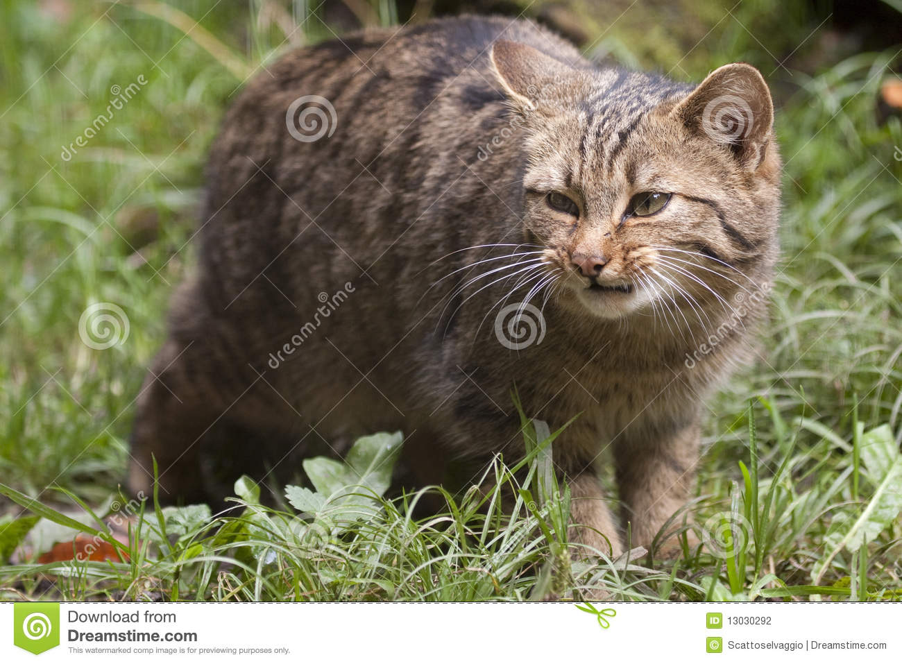 The Wildcat (Felis silvestris), sometimes Wild Cat or Wild-cat, is a small cat (Felinae) native to Europe, the western part of Asia, and Africa. It is a hunter of small mammals, birds, and other creatures of a similar size. There are several subspecies distributed in different regions. Sometimes included is the ubiquitous domestic cat (Felis silvestris catus), which has been introduced to every habitable continent and most of the world's larger islands, and has become feral in many of those environments.