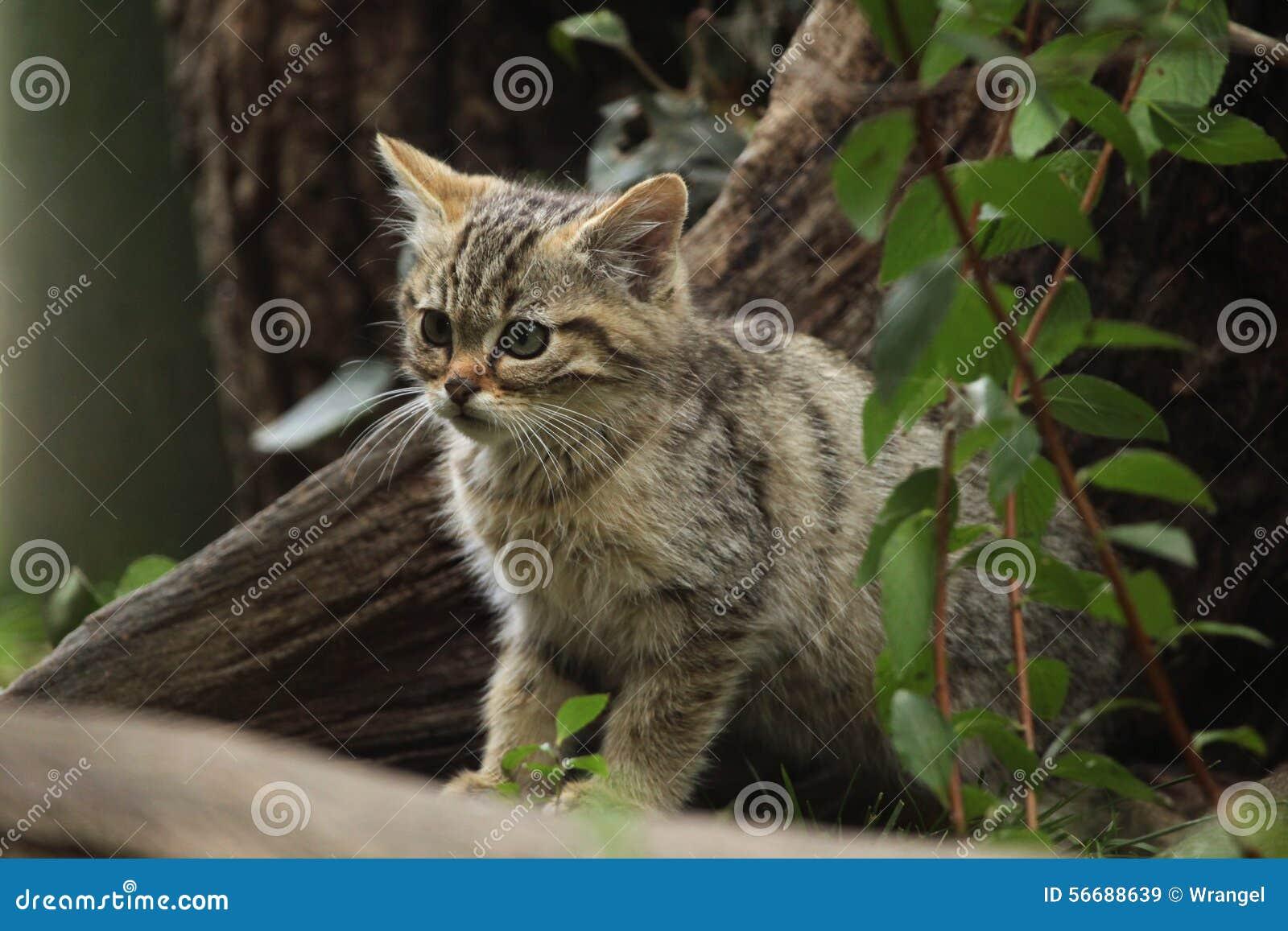 European Wildcat (Felis Silvestris Silvestris) Kitten