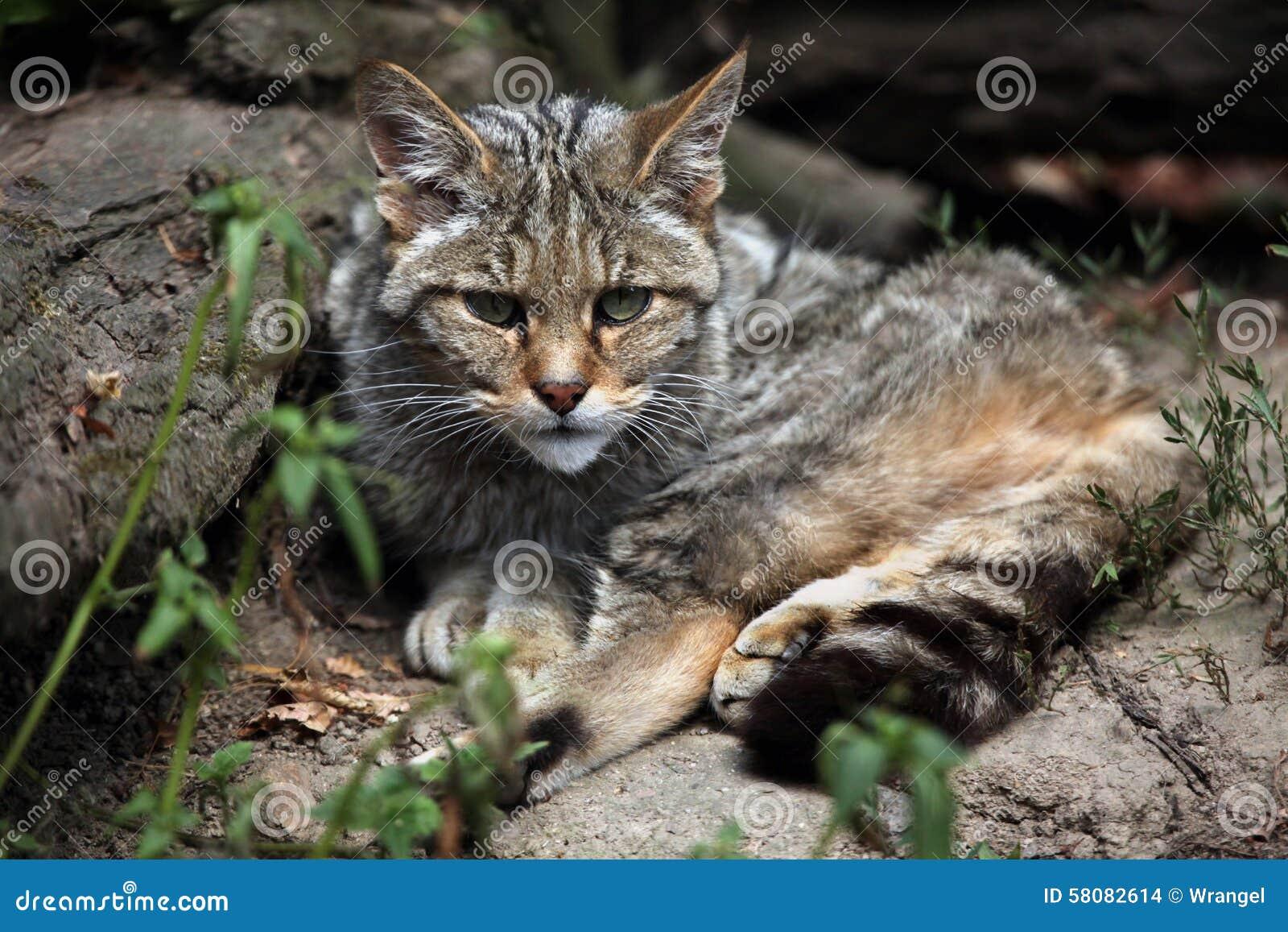European Wildcat (Felis Silvestris Silvestris). Stock
