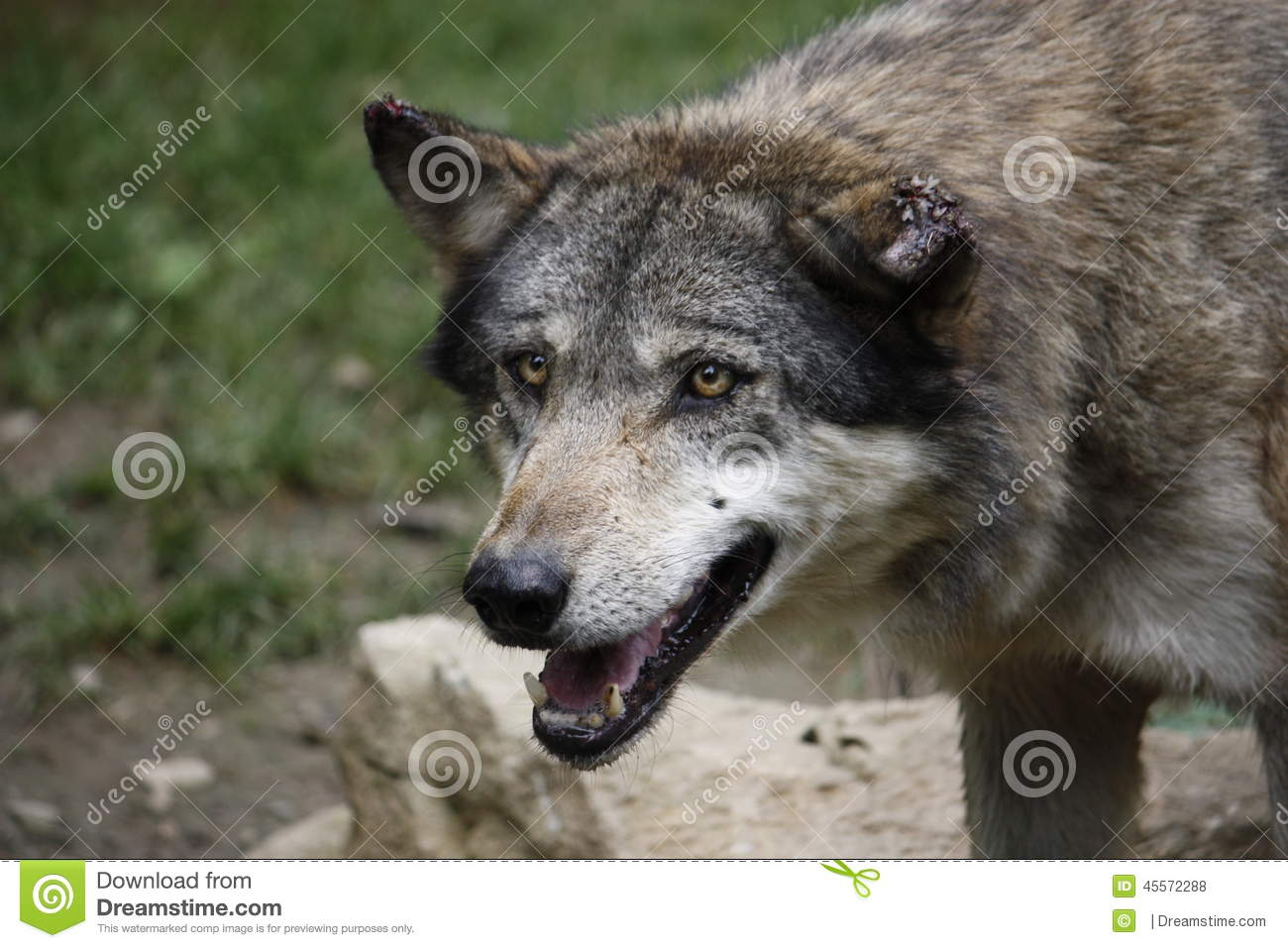 European Wolf With Scarred Ears Stock Photo - Image of ...