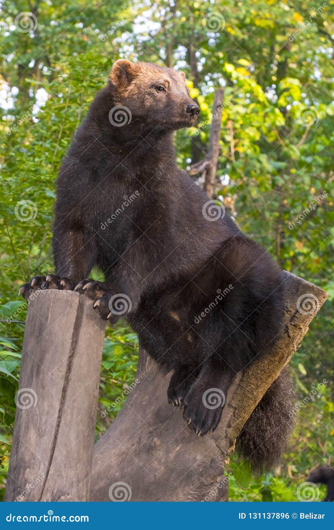 European wolverine