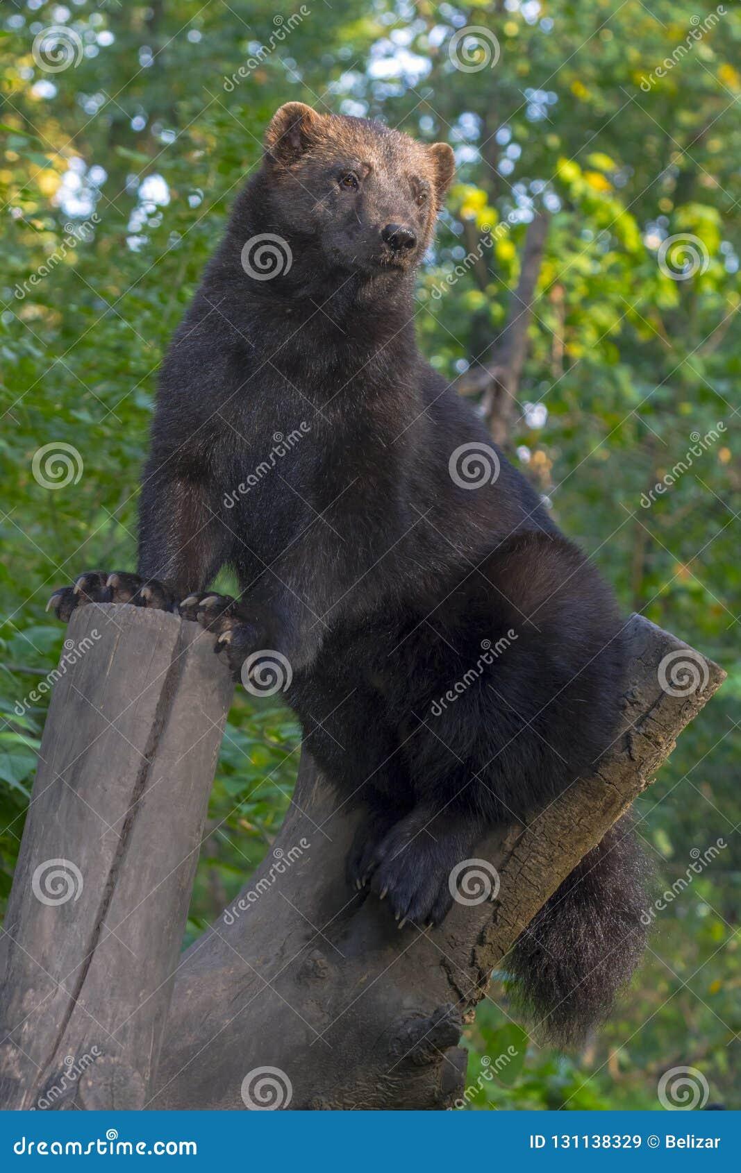 European wolverine on a tree