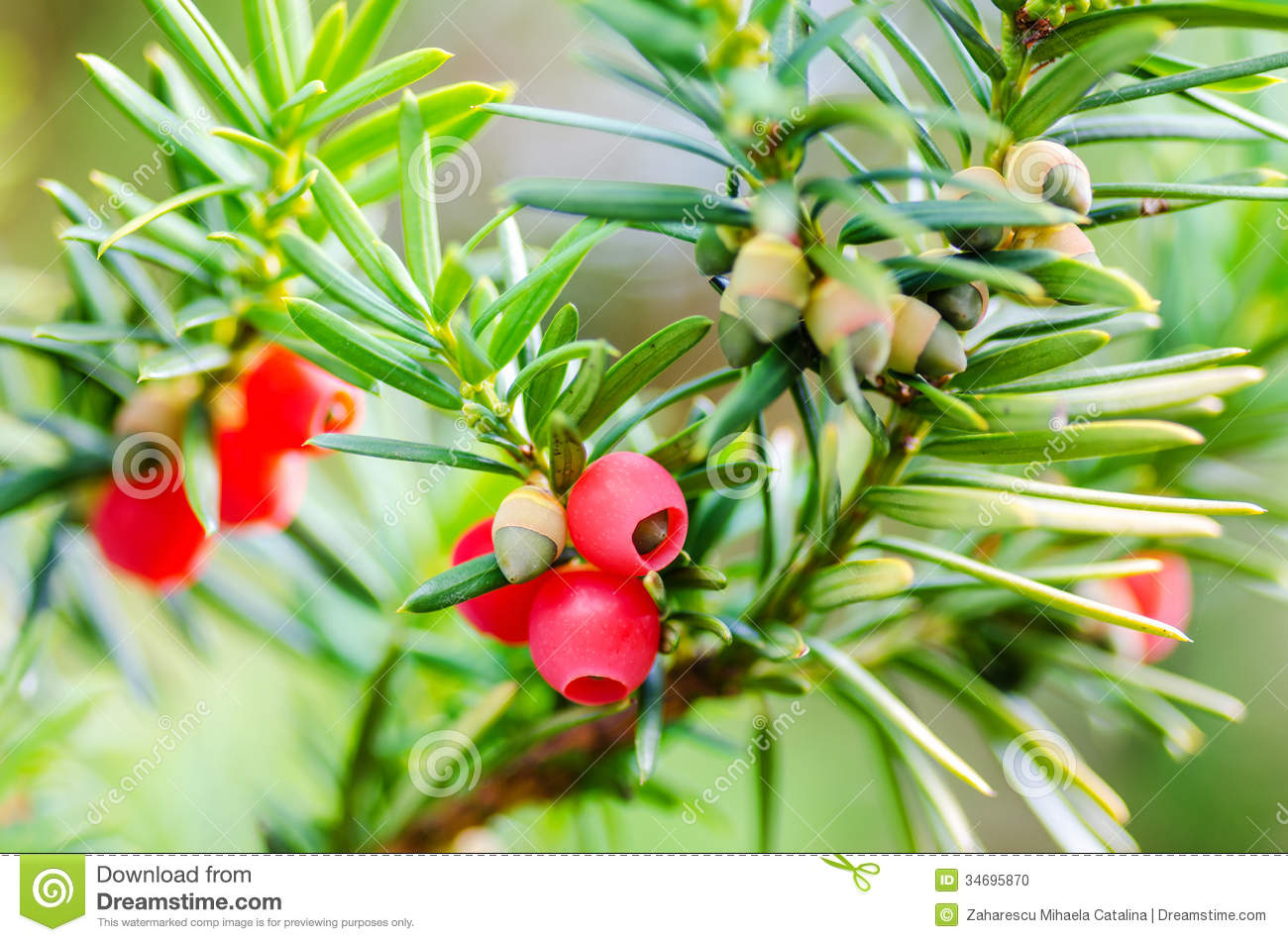 yew taxus baccata green leaves and red fruit stock image image