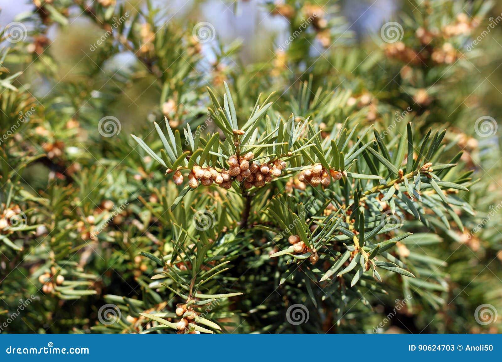 european yew tree in spring stock image image of flora toxic