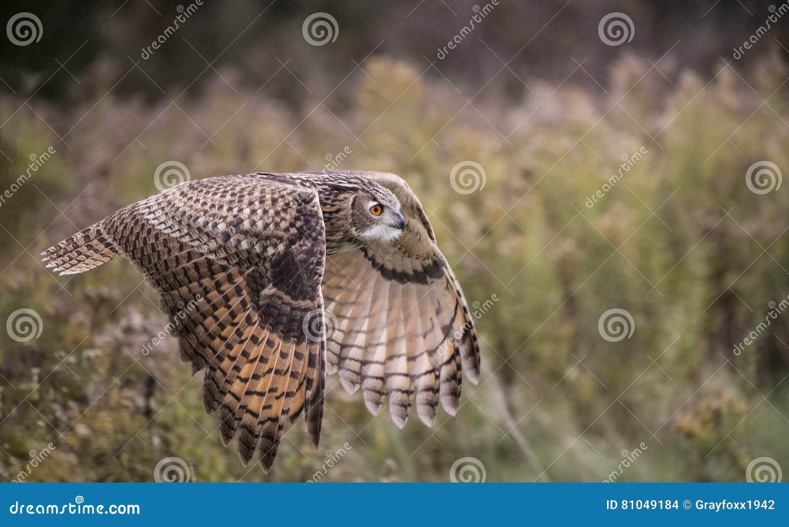 Europees-Aziatisch Eagle Owl