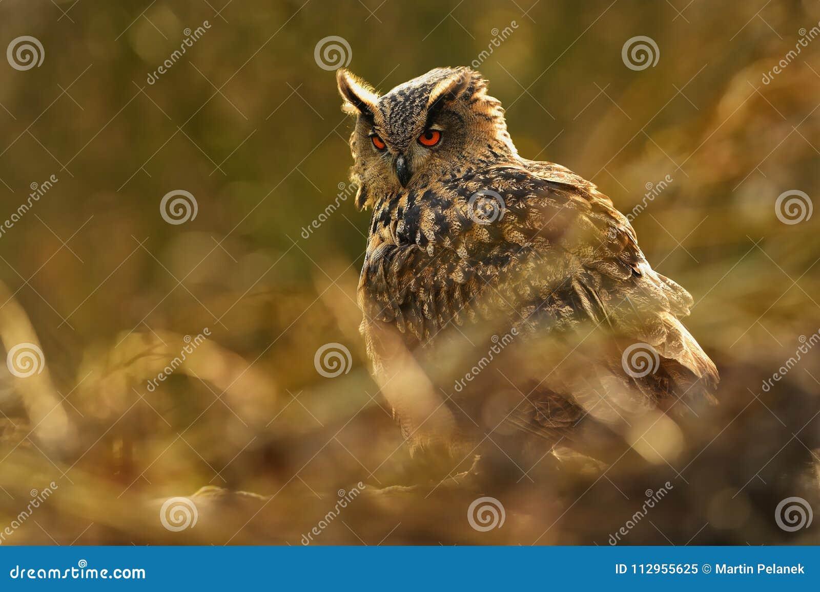 Europees-Aziatische adelaar-Uil - bubo Bubo