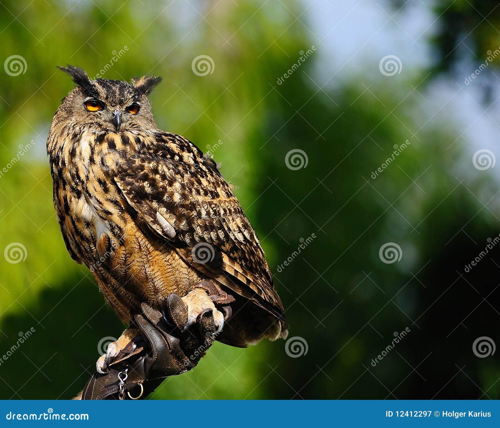 Europees-Aziatische adelaar-Uil (bubo Bubo)
