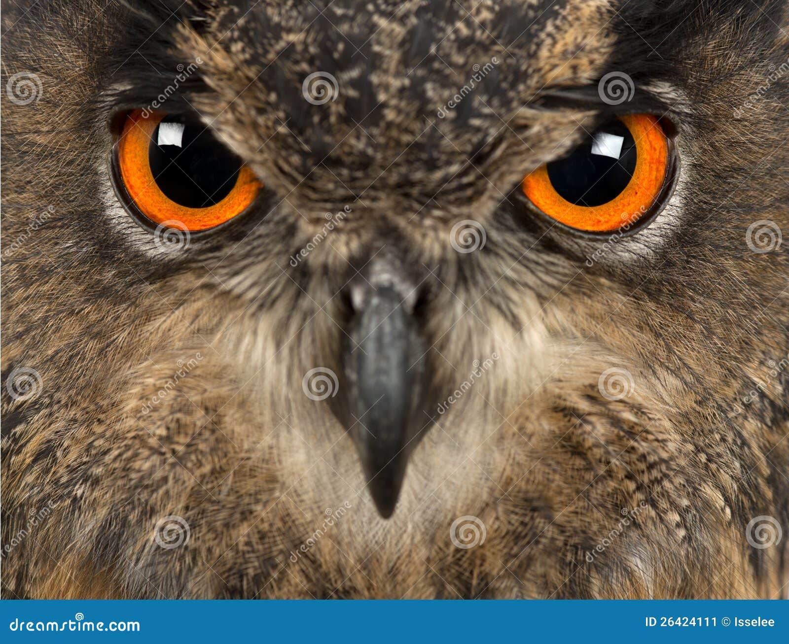 Europees-Aziatische adelaar-Uil, Bubo bubo, 15 jaar oud