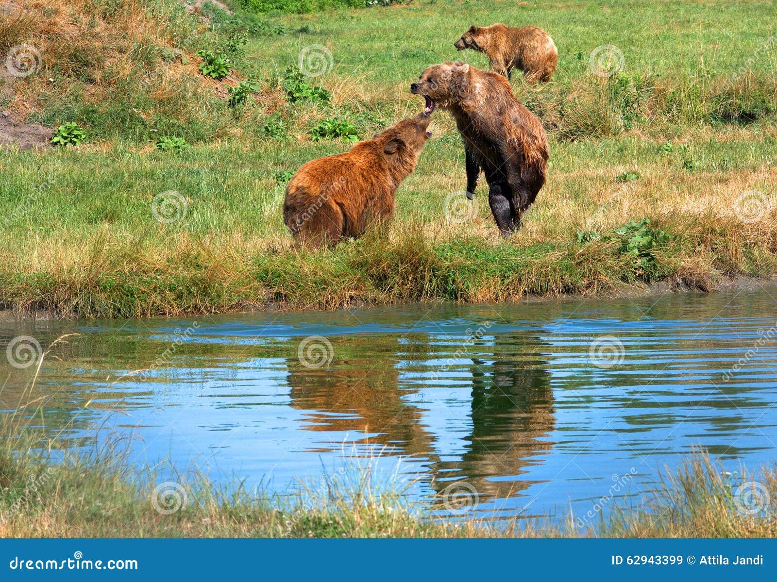 Europees-Aziatische bruine beren