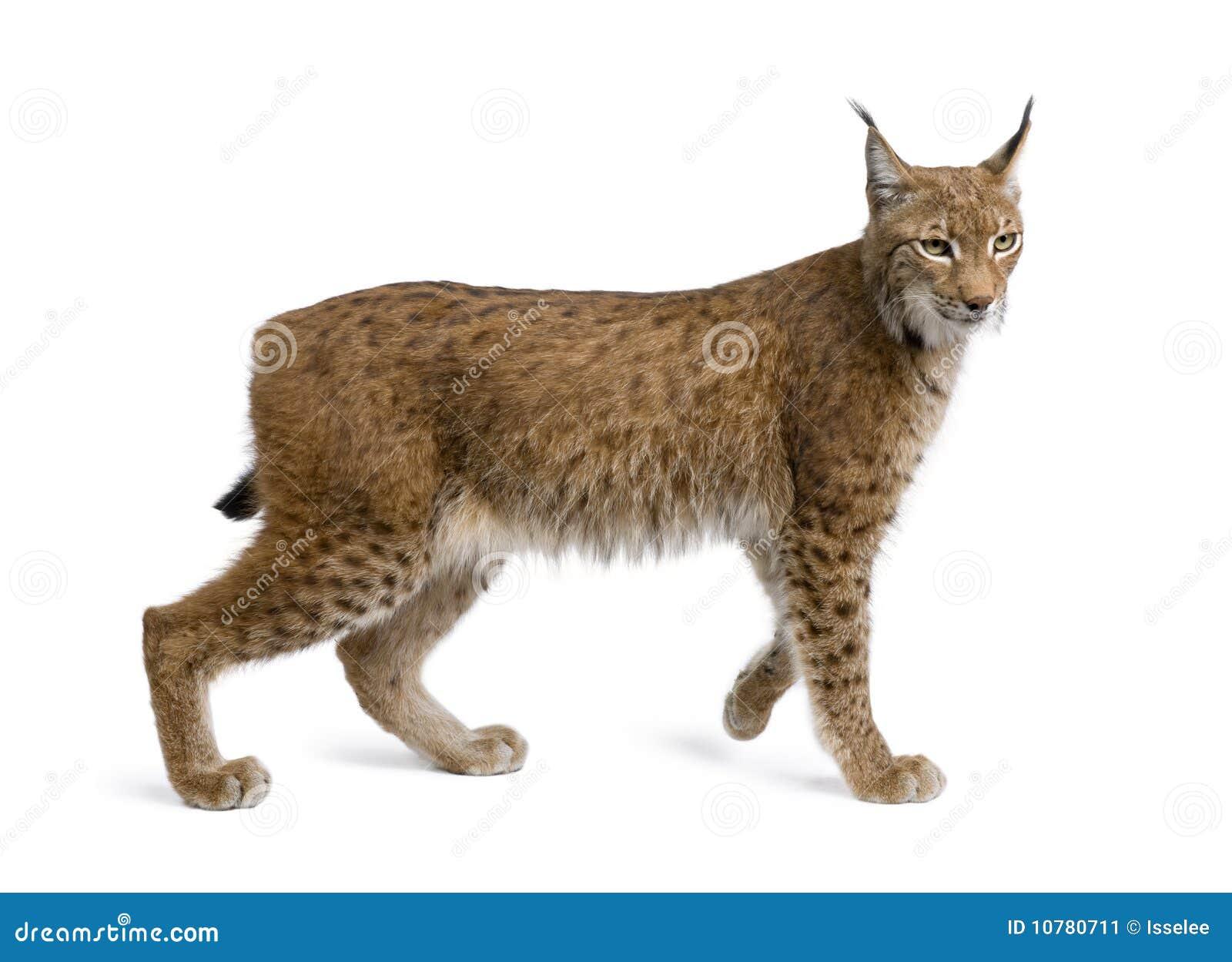 Download Europees-Aziatische Lynx, Lynxlynx, 5 Jaar Oud Stock Afbeelding - Afbeelding bestaande uit katten, mensen: 10780711