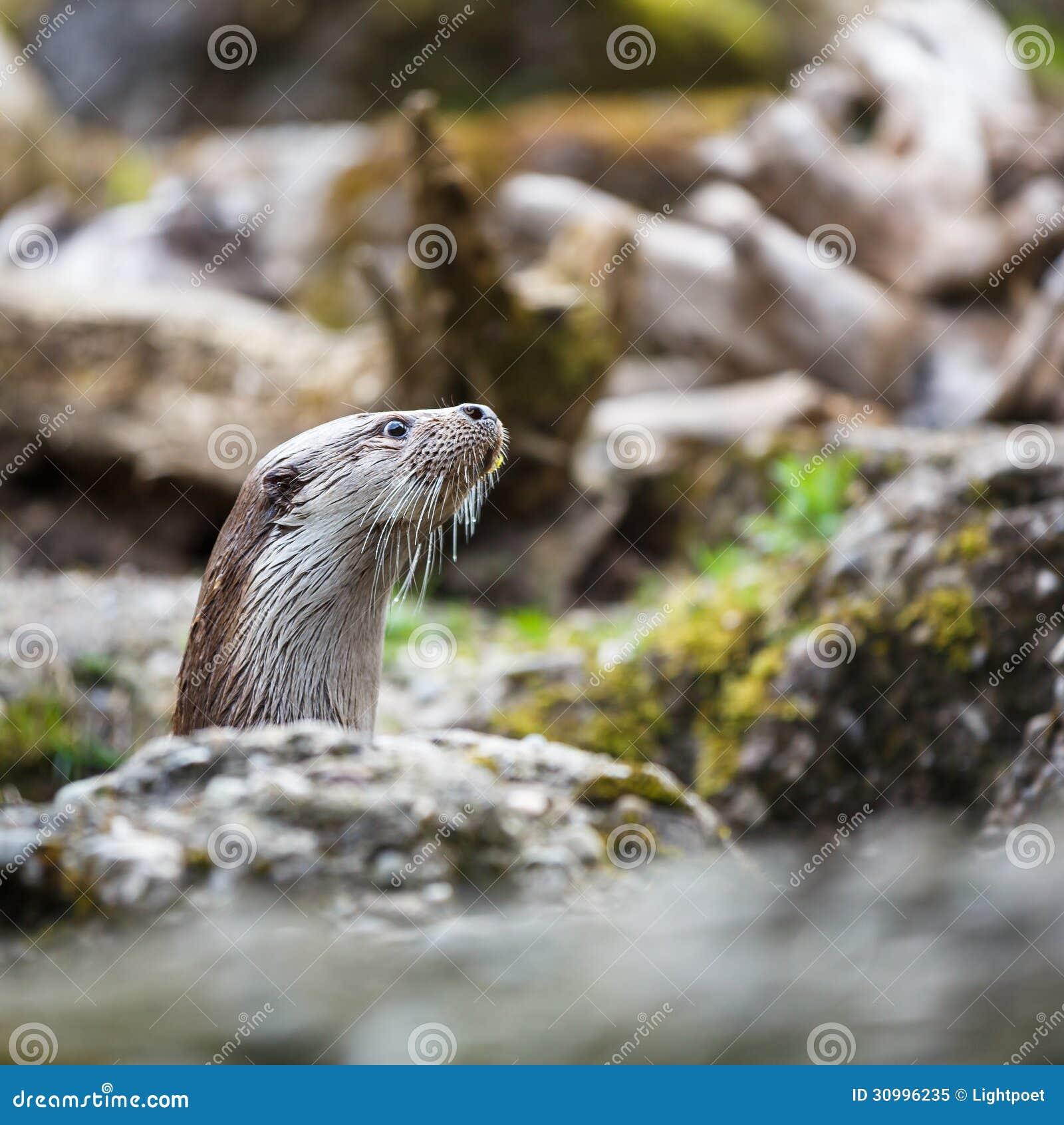Europees-Aziatische otter (Lutra-lutra)