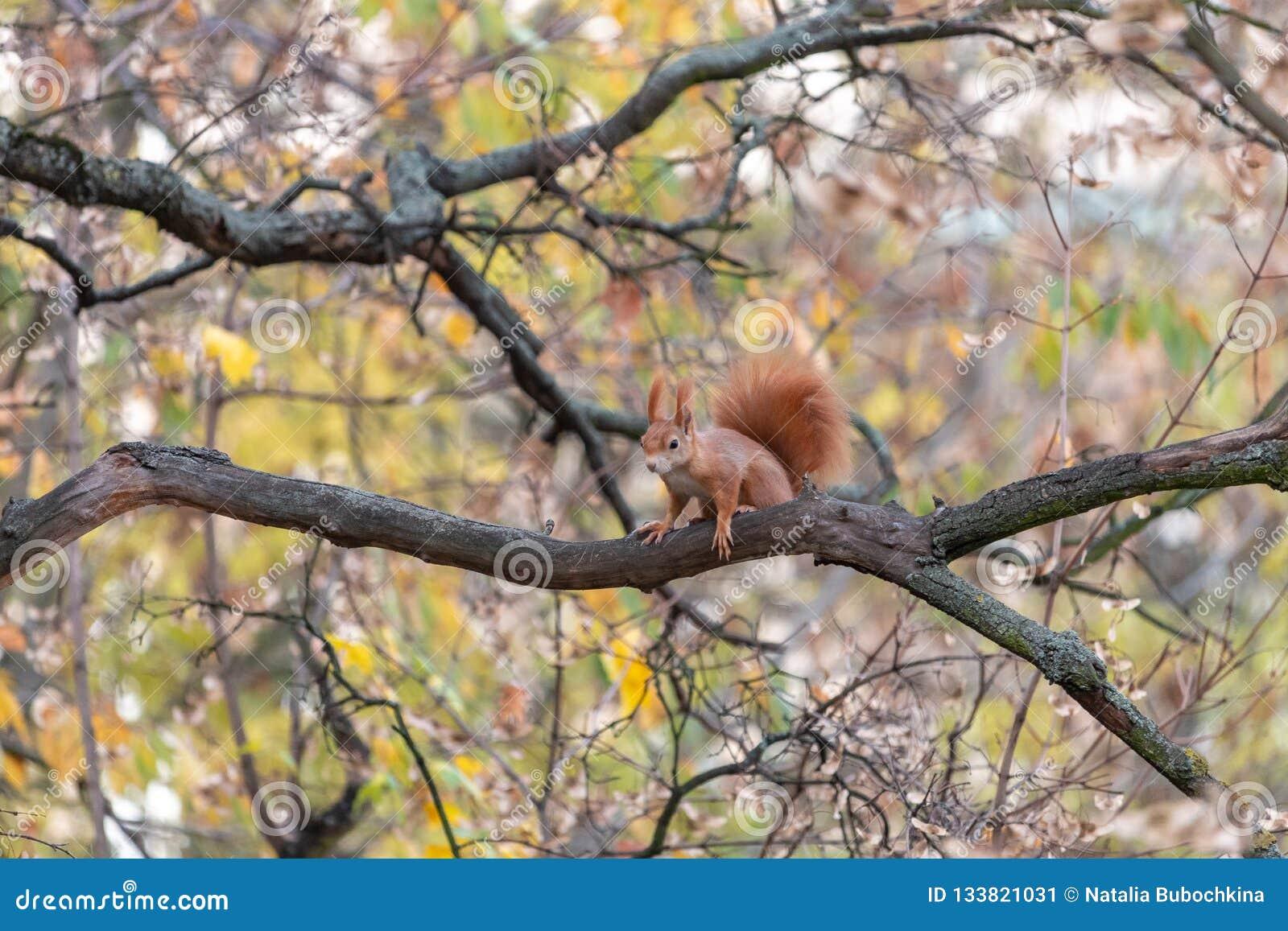 Europees-Aziatische rode eekhoornzitting op boomtak in dalingsseizoen