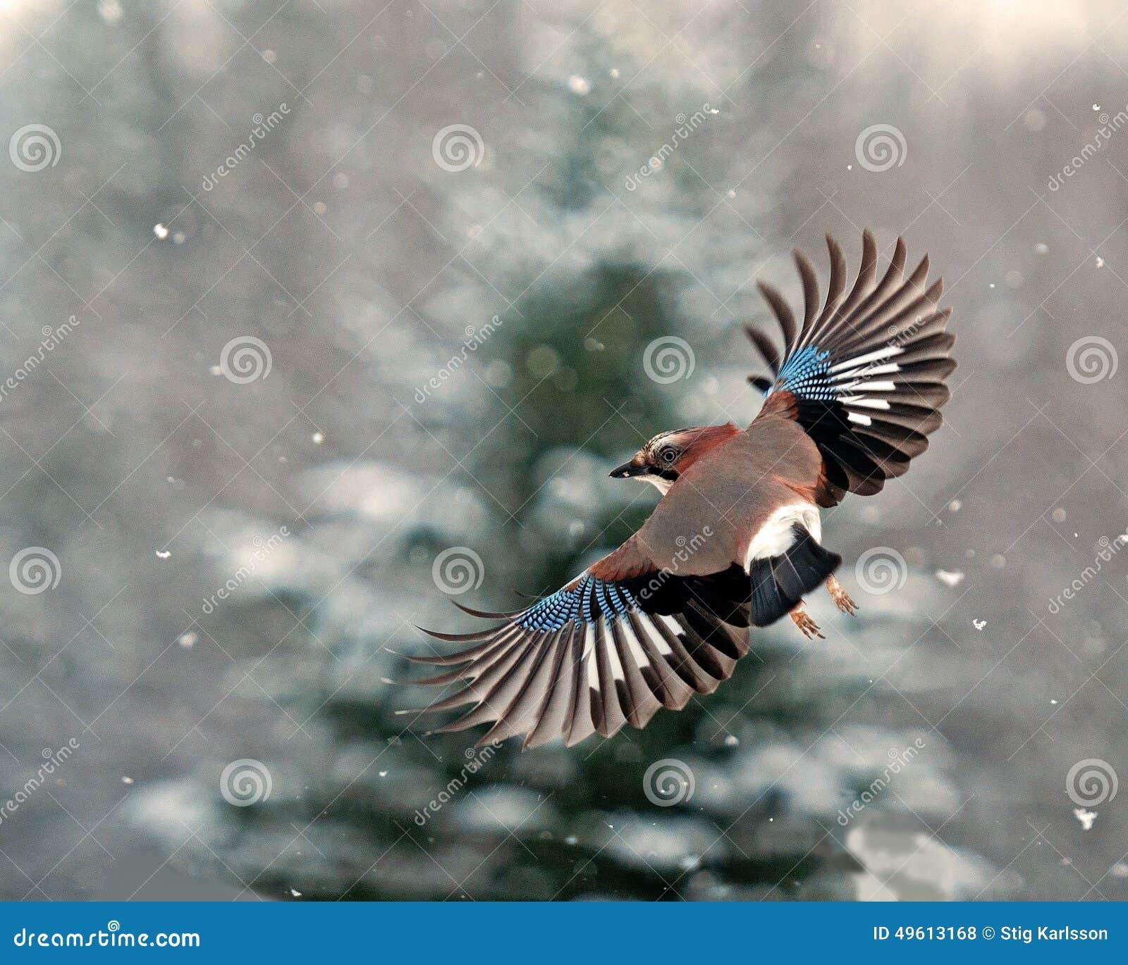 Europees-Aziatische Vlaamse gaai, Garrulus-glandarius die in dalende sneeuw vliegen