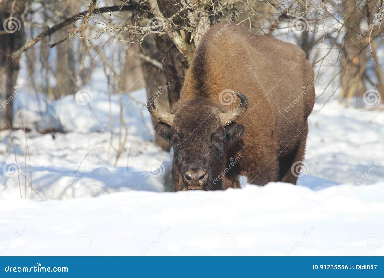 Europeisk Bison