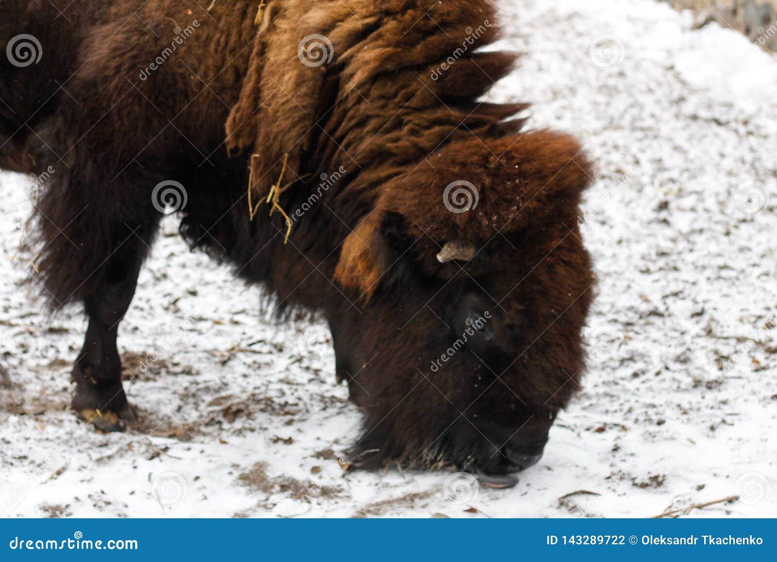 Europeisk bisonbisonbonasus i zoo