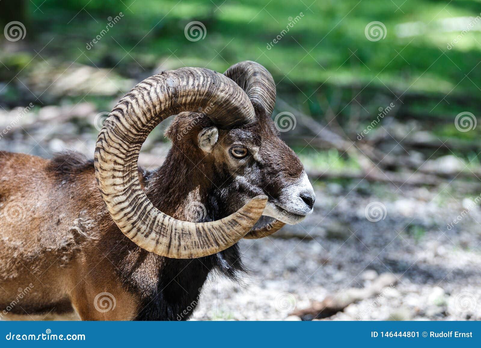 Europeisk mouflon, Ovisorientalismusimon Djurlivdjur
