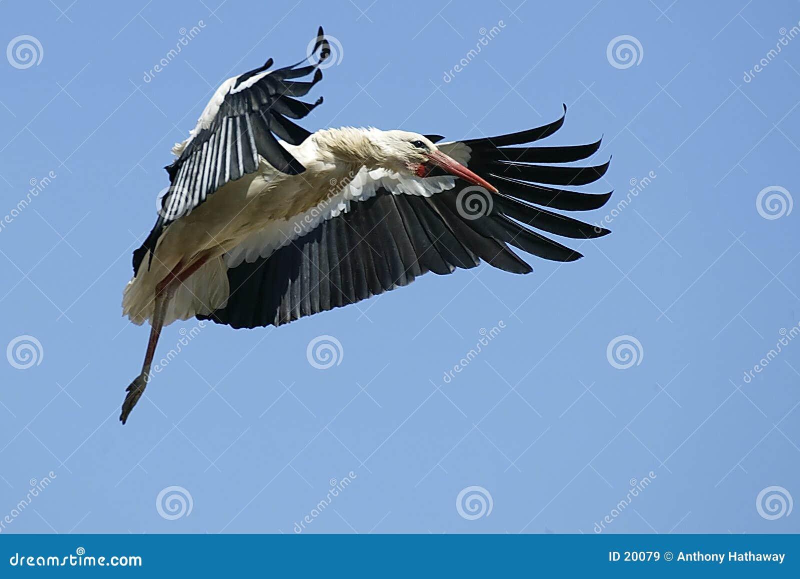 Europeisk storkwhite