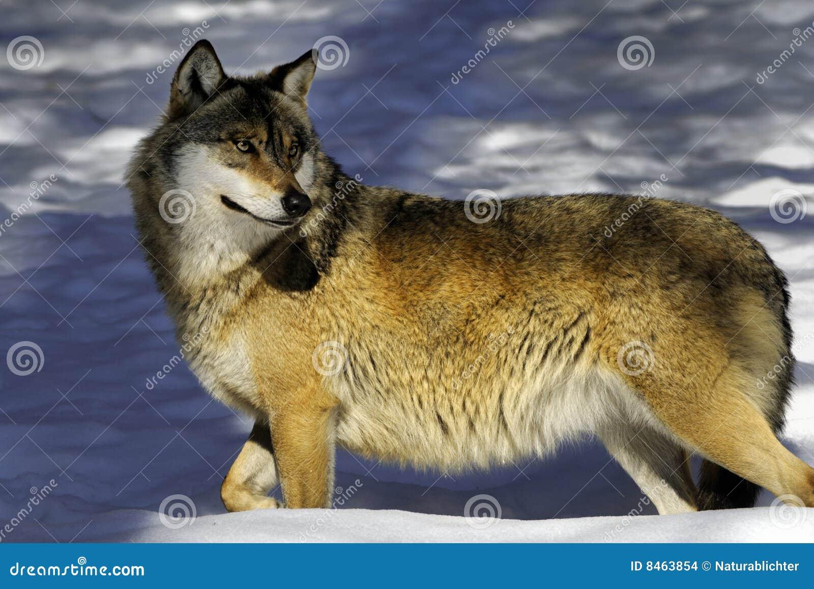Europeisk wolf