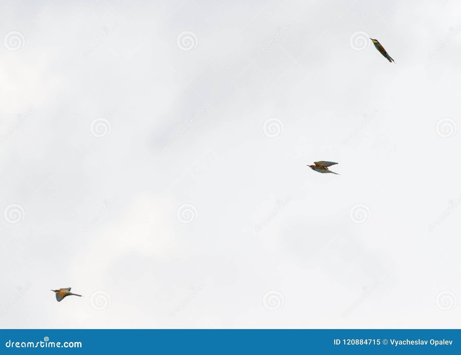 Europeiskt Bi-ätare fågelflyg