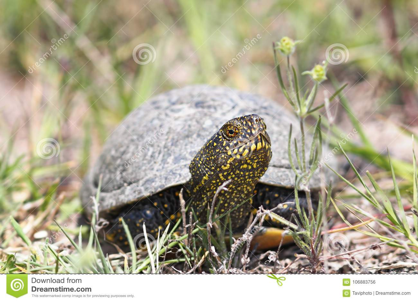 Europeiskt dammsköldpaddaslut upp