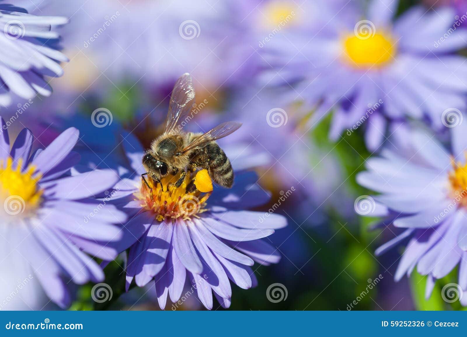 Europeiskt honungbi på asterblomman