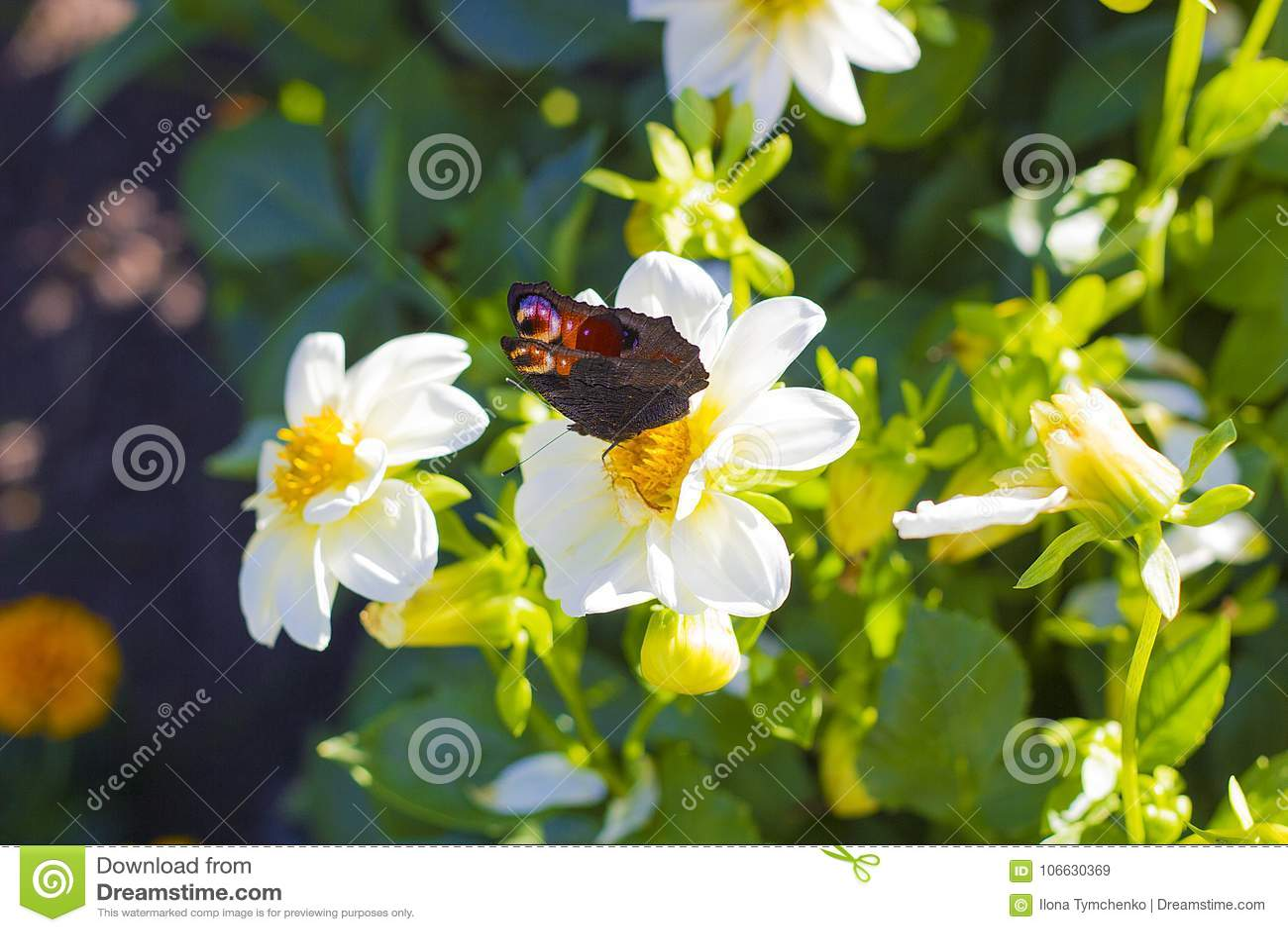 Europeiskt påfågelsammanträde för fjäril på den vita blomman