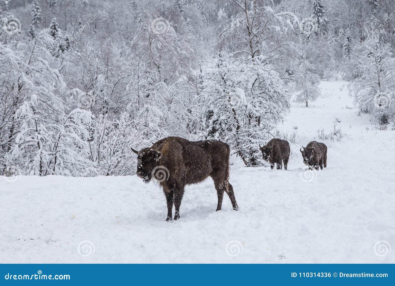 Europeiskt program för återställandet av den europeiska bisonbefolkningen, Karpaty reserv, Ukraina