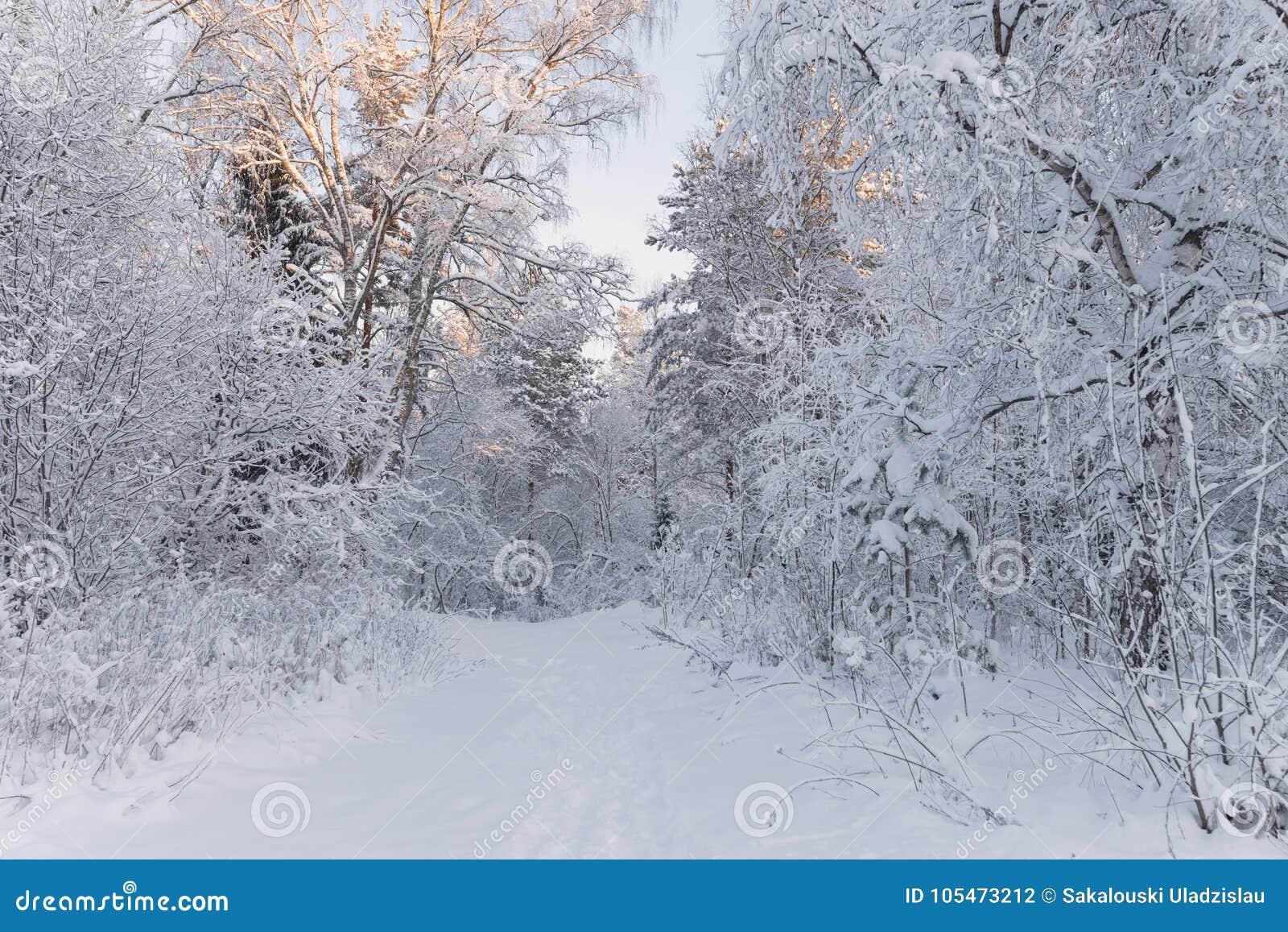 Europeiskt vinterlandskap Träd som täckas med snö på Frosty Morning härlig skogliggandevinter Härlig vintermorgon I