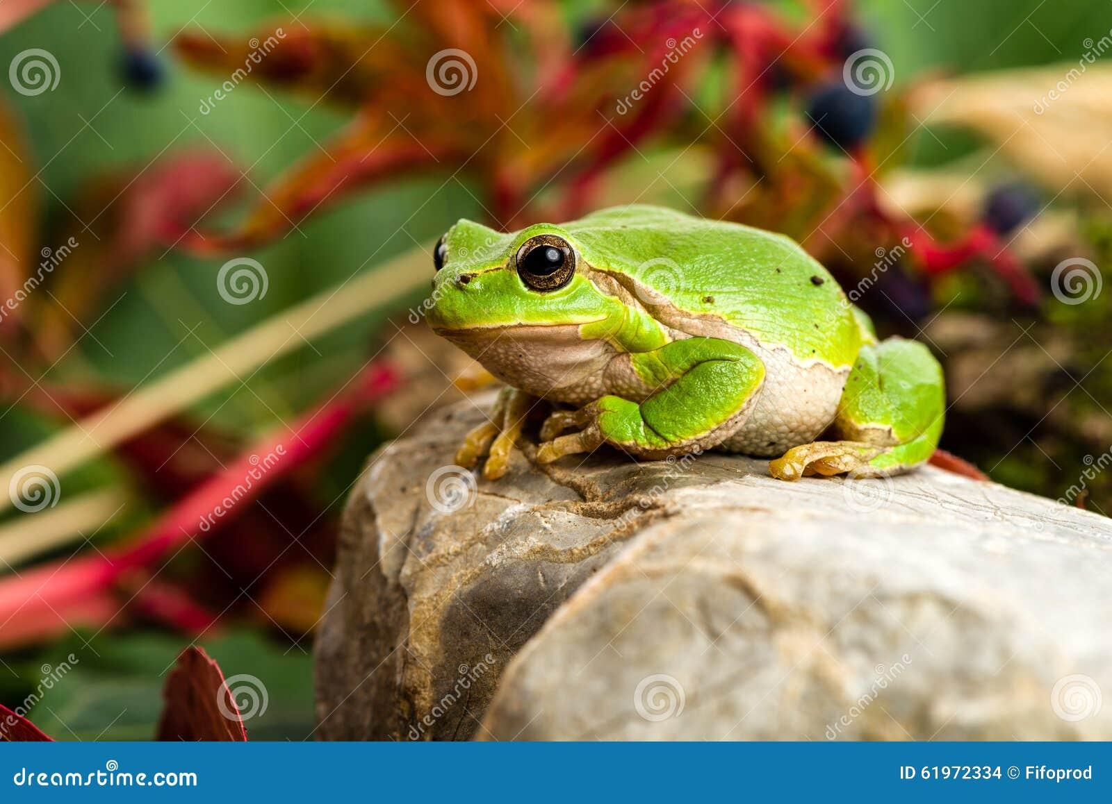 Europejczyk zielona drzewna żaba czaije się dla zdobycza w naturalnym środowisku