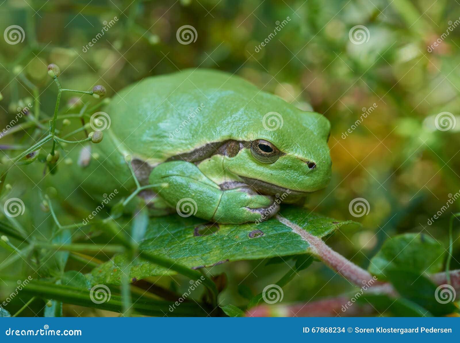 Europejska drzewna żaba na zielonym liściu