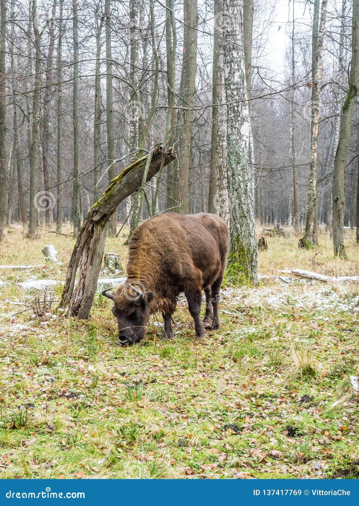 Europejski żubra żubra bonasus, tury w lesie