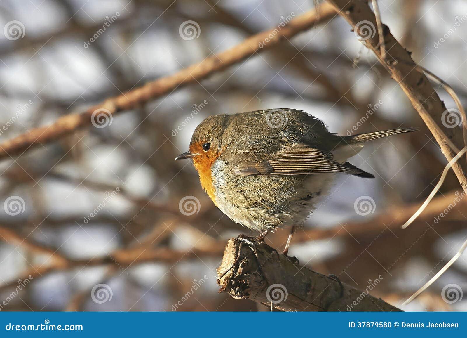 Europejski rudzik (Erithacus rubecula)