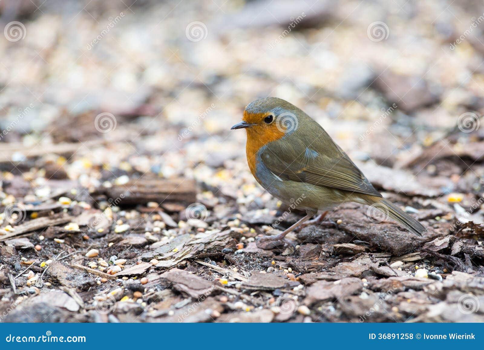 Download Europeo Robin fotografia stock. Immagine di nessuno, pettirosso - 36891258