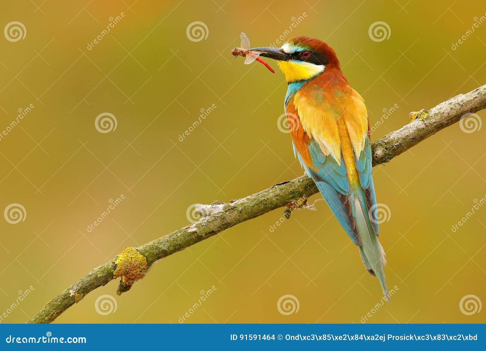 Europese bij-Eter, Merops apiaster, mooie vogelzitting op de tak met libel in de rekening De scène van de actievogel in nationaal