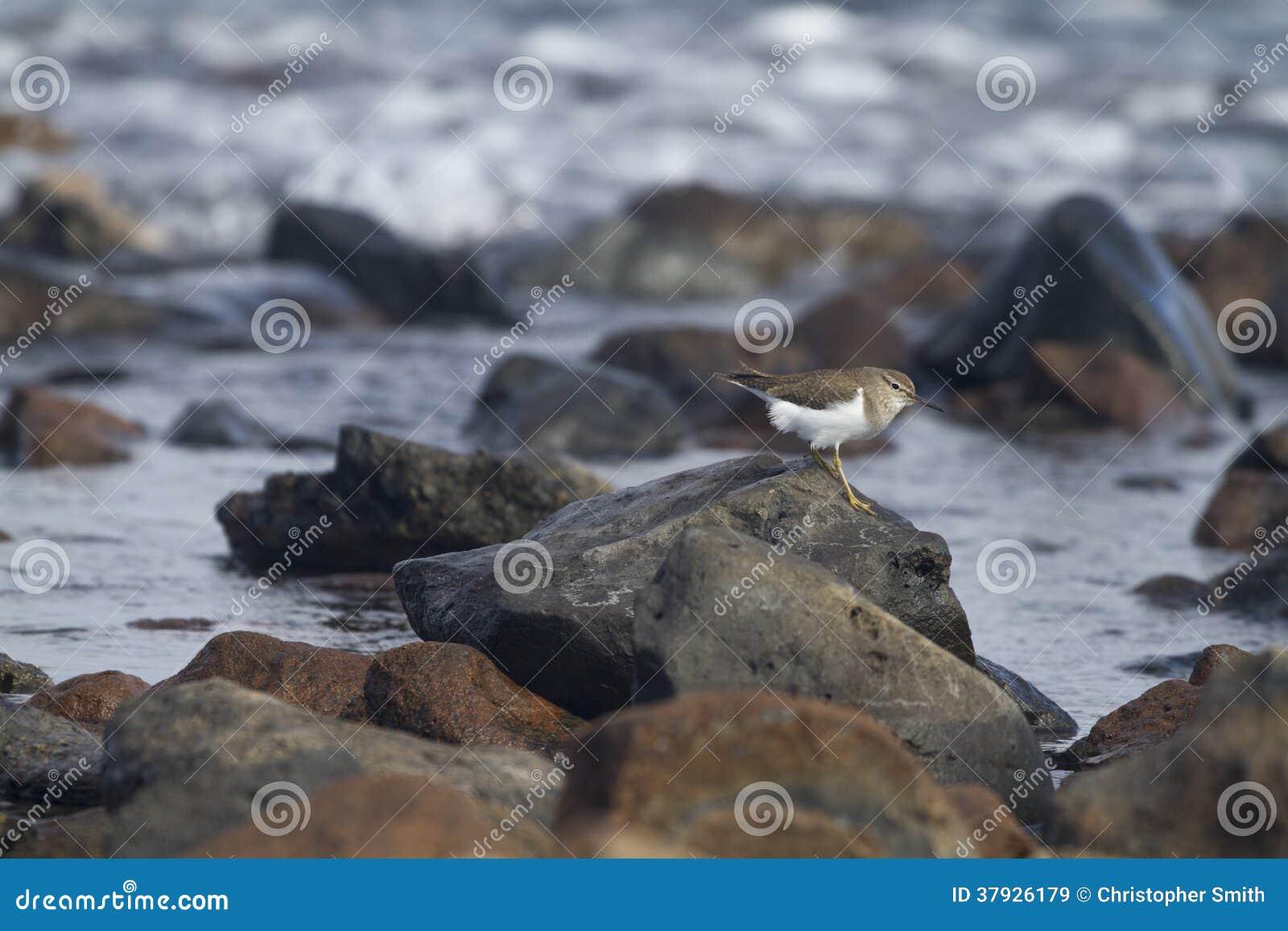 Europese Gemeenschappelijke Sandpiper- hypoleucos van Actitis