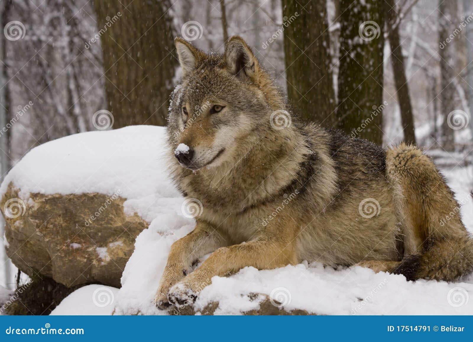 europese grijze wolf canis wolfszweerwolfszweer stock