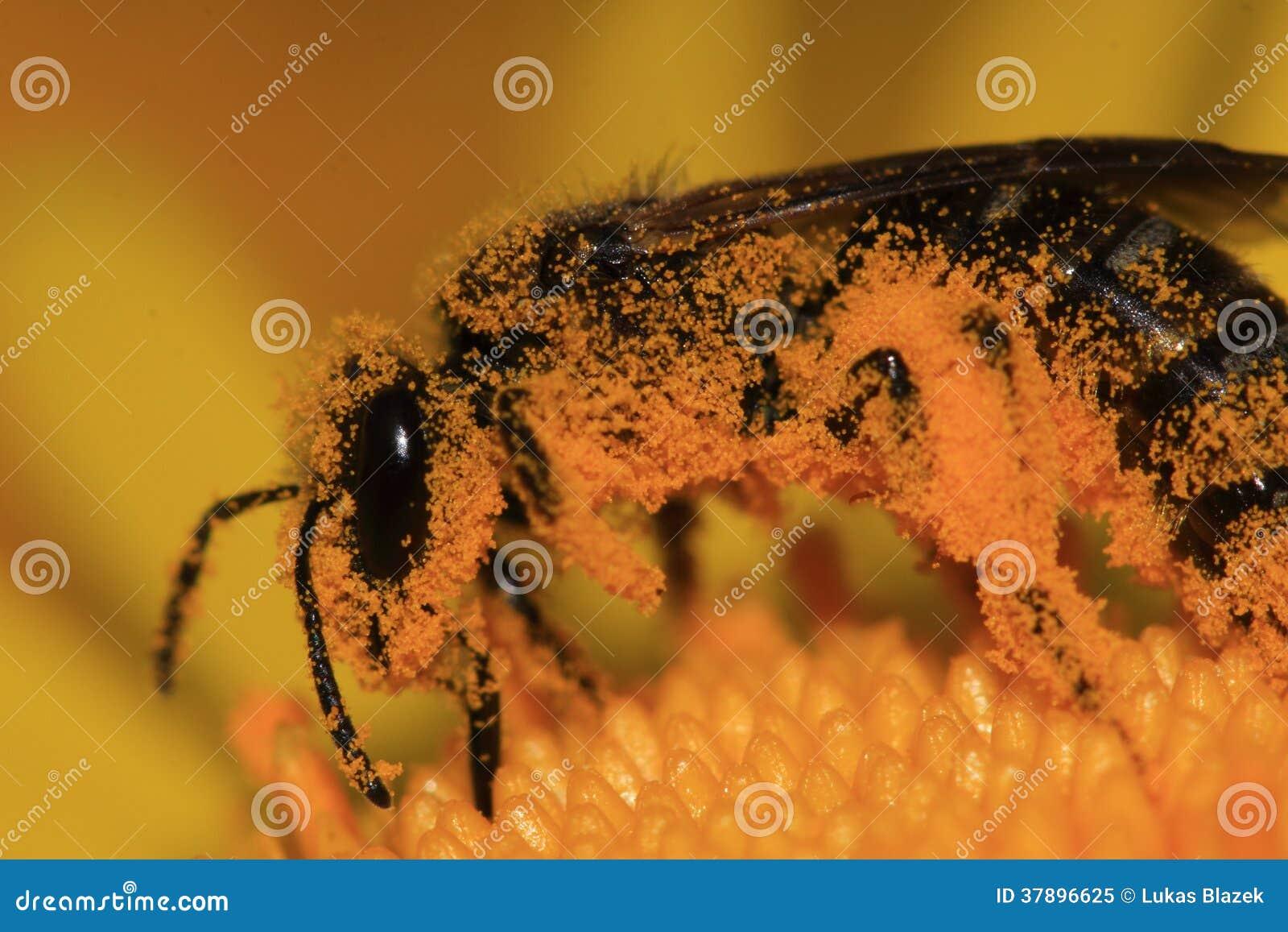 Europese honingbij