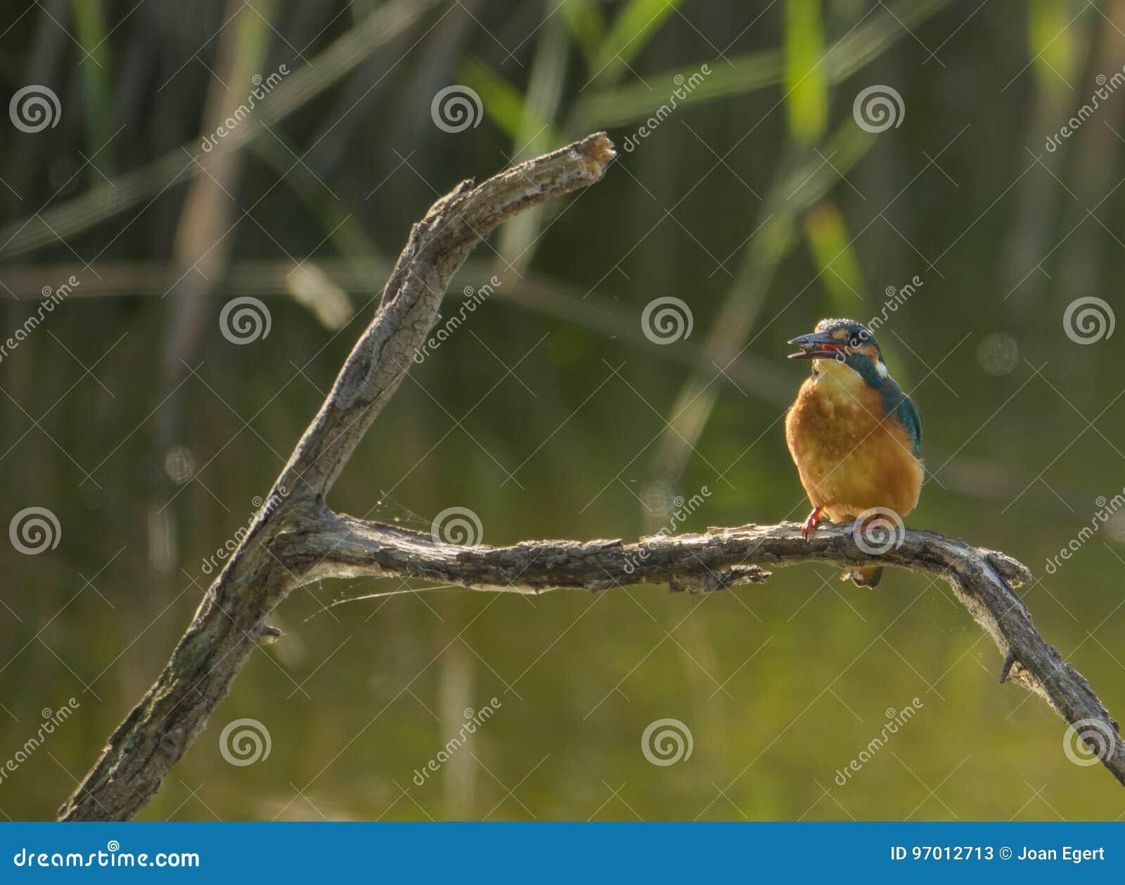 Europese Ijsvogel met prooi