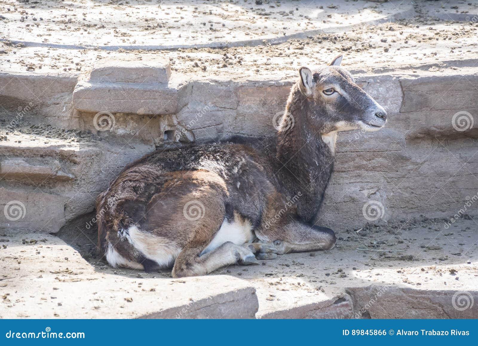 Europese mouflon die, Ovis Musimon stil rusten