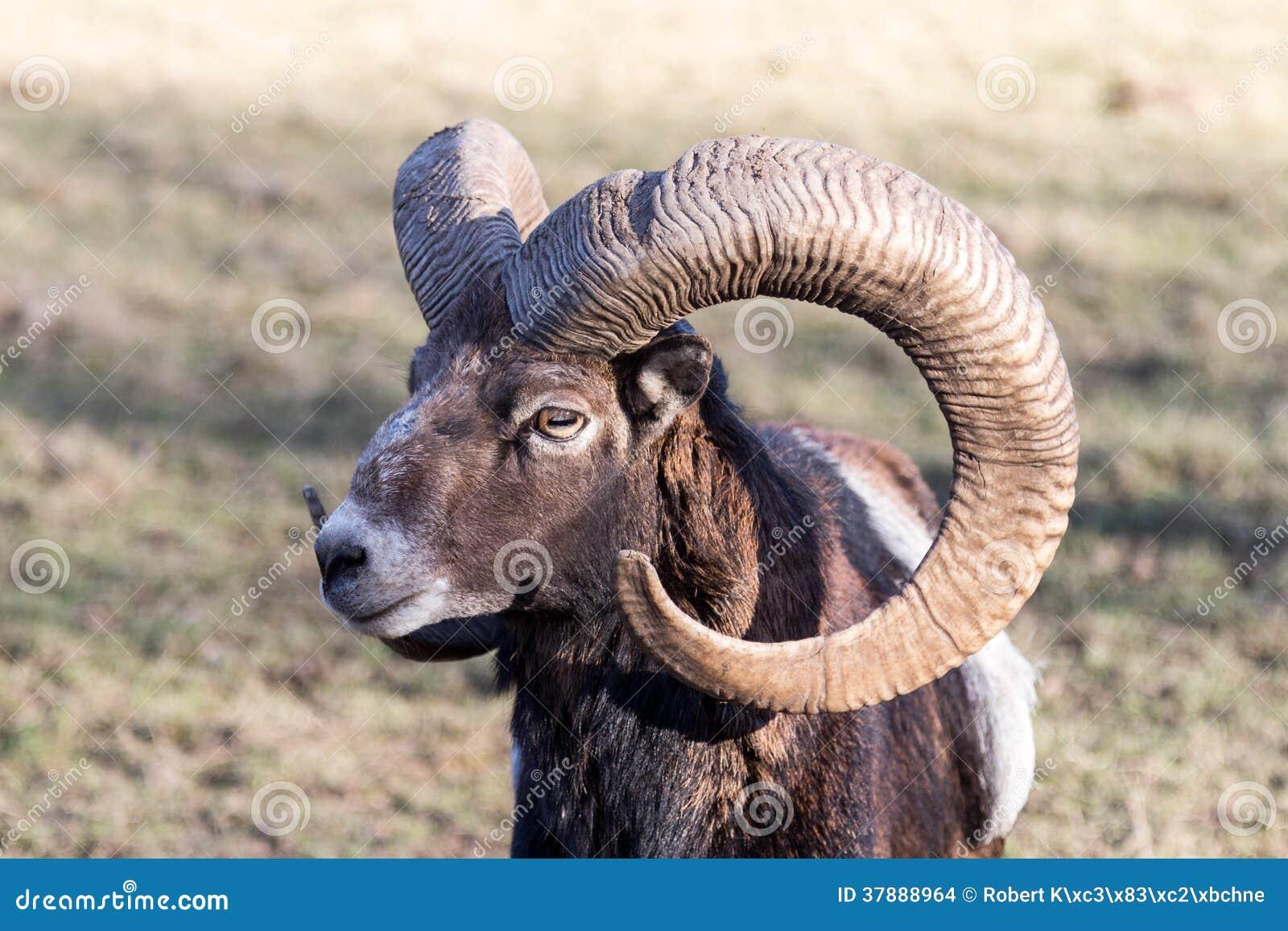 Europese Mouflon met Hoornen