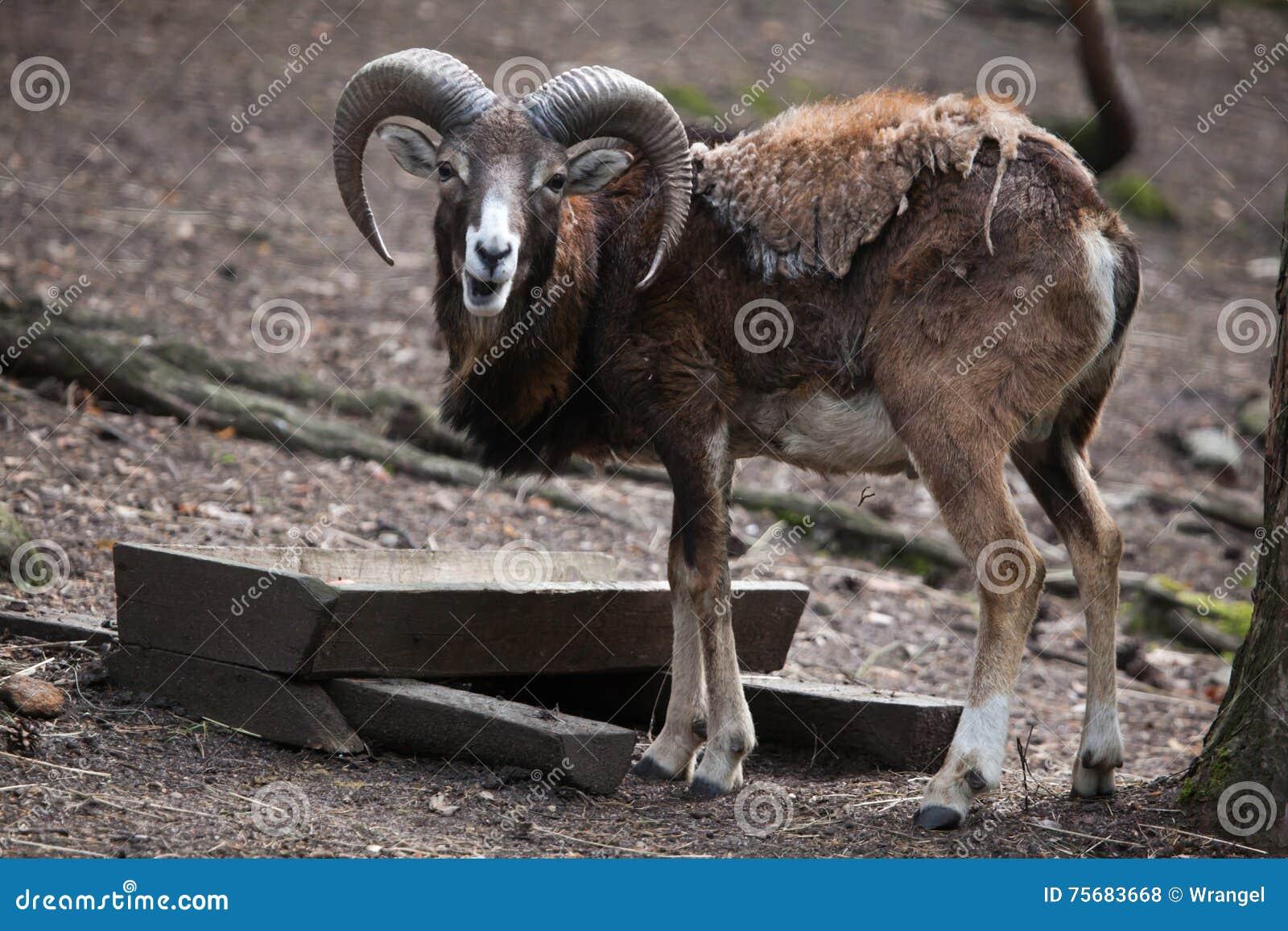 Europese Mouflon (orientalis Ovis musimon)