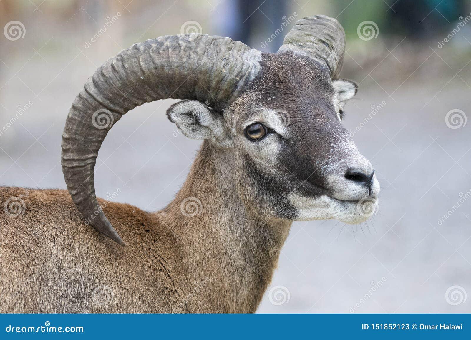 Europese mouflon - Ovis - orientalis musimon