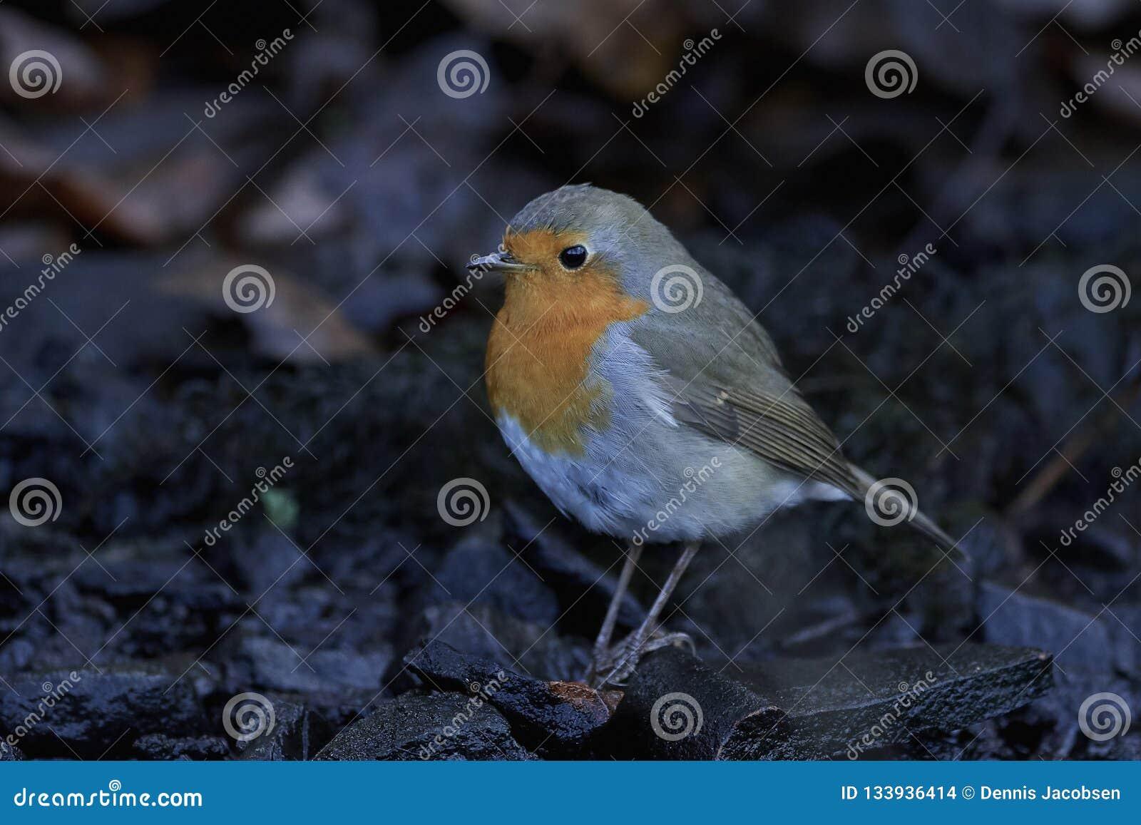 Europese Robin Erithacus-rubecula