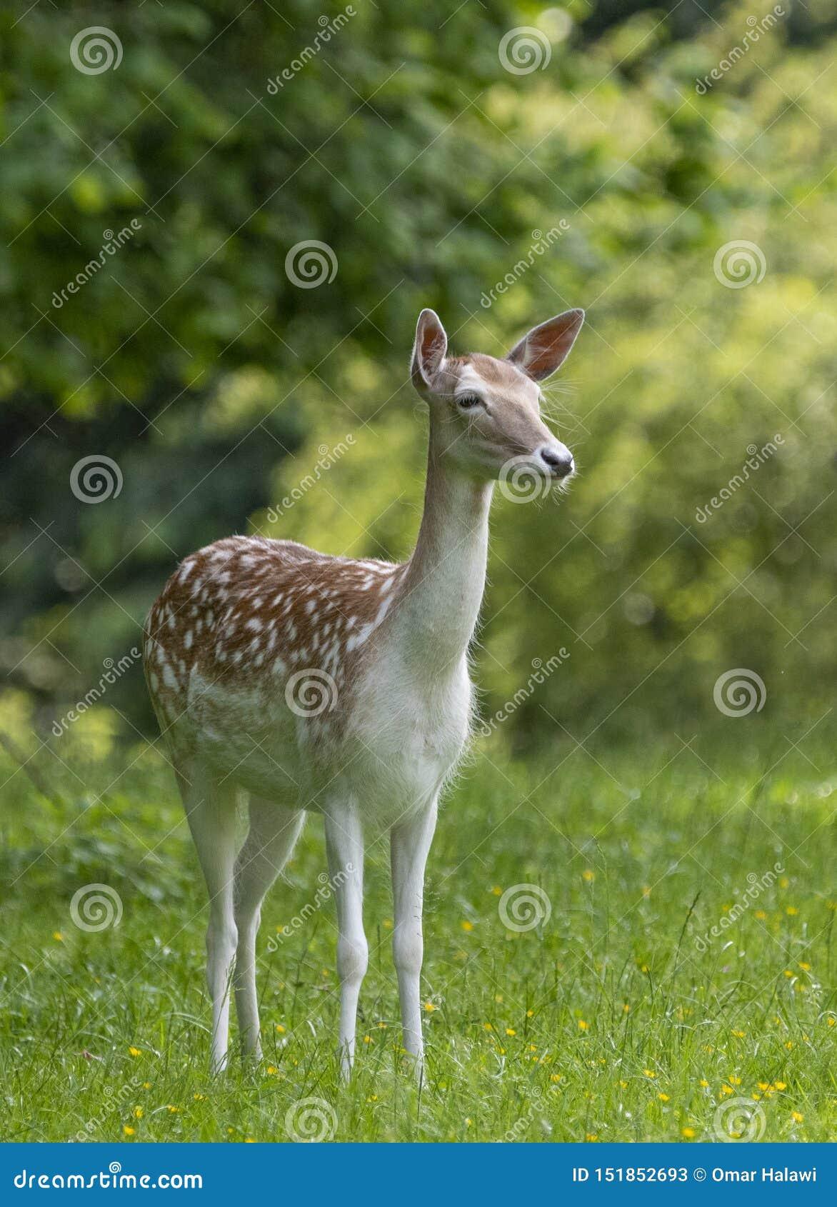 Europese Roe Deer Capreolus-capreolus