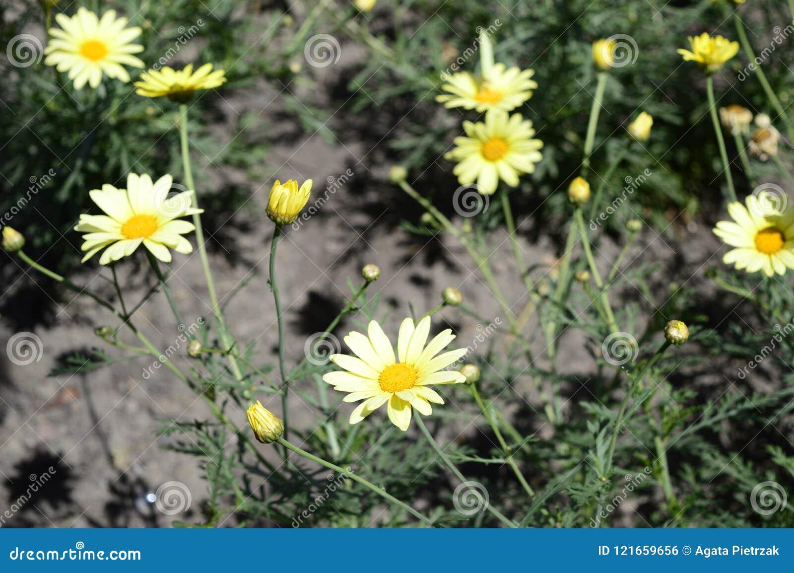 Small yellow daisies in summer time stock photo image of euryops pectinatus beautiful flowers like yellow daisies izmirmasajfo